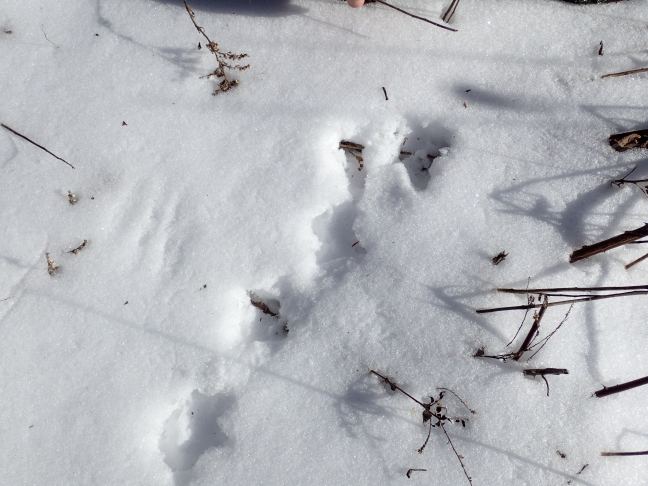 Grouse tracks in snow