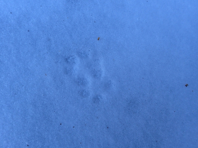 Grey Fox Tracks
