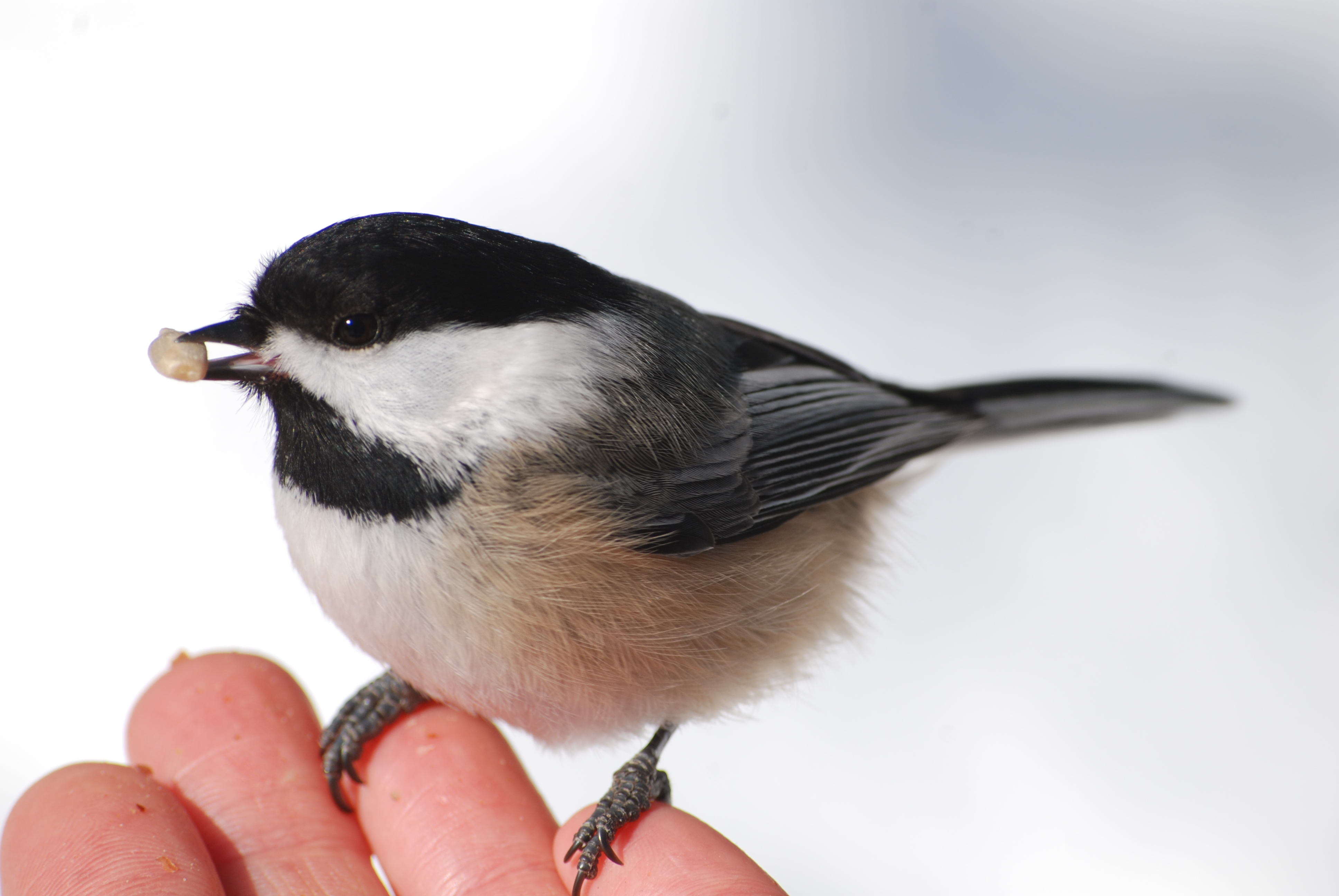 Chickadee eating from our hands
