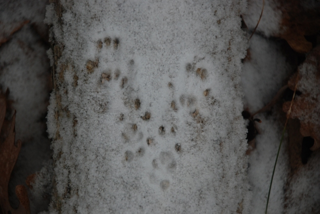 squirrel tracks in shallow snow