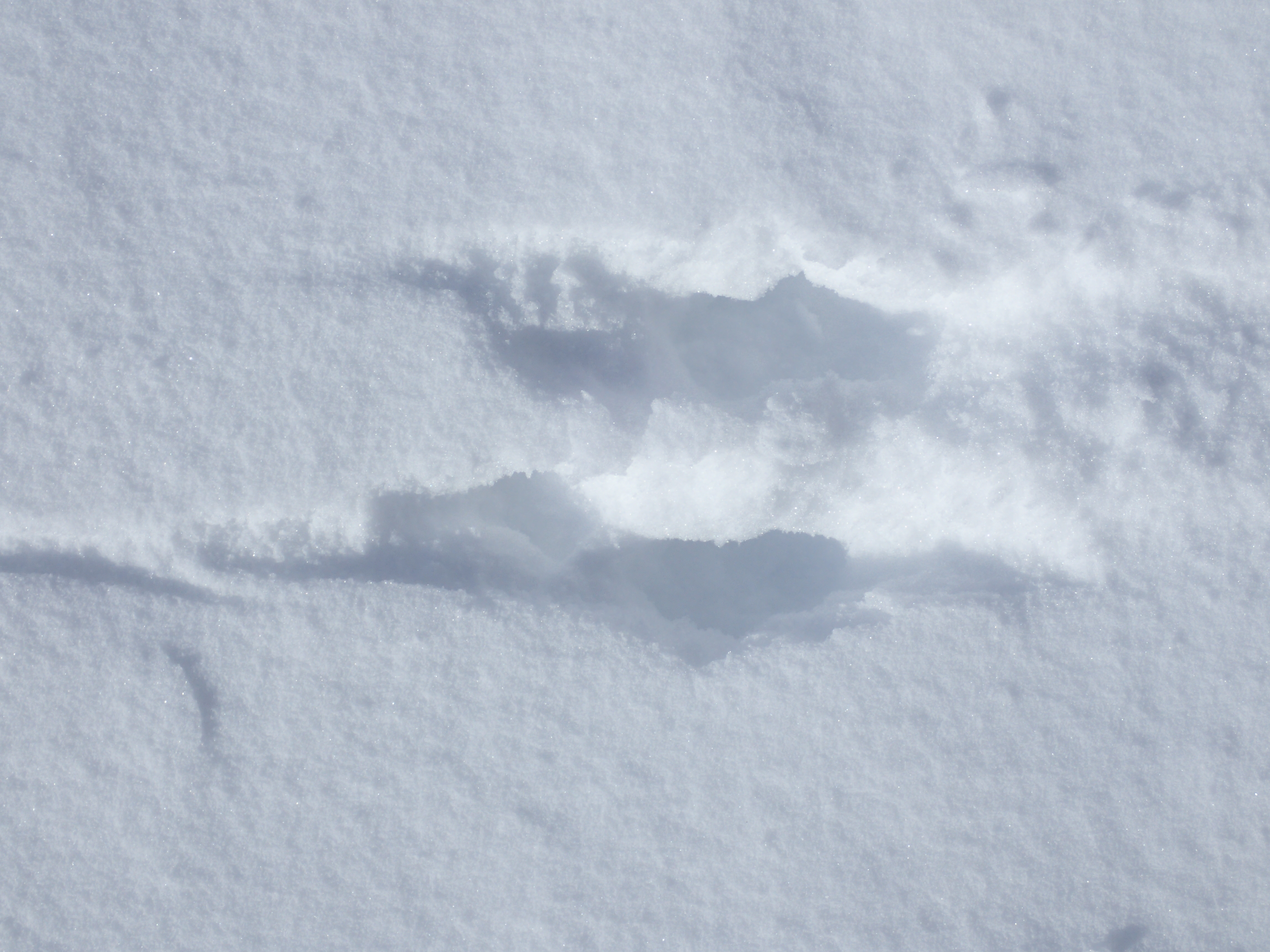 grey squirrel tracks in deep snow