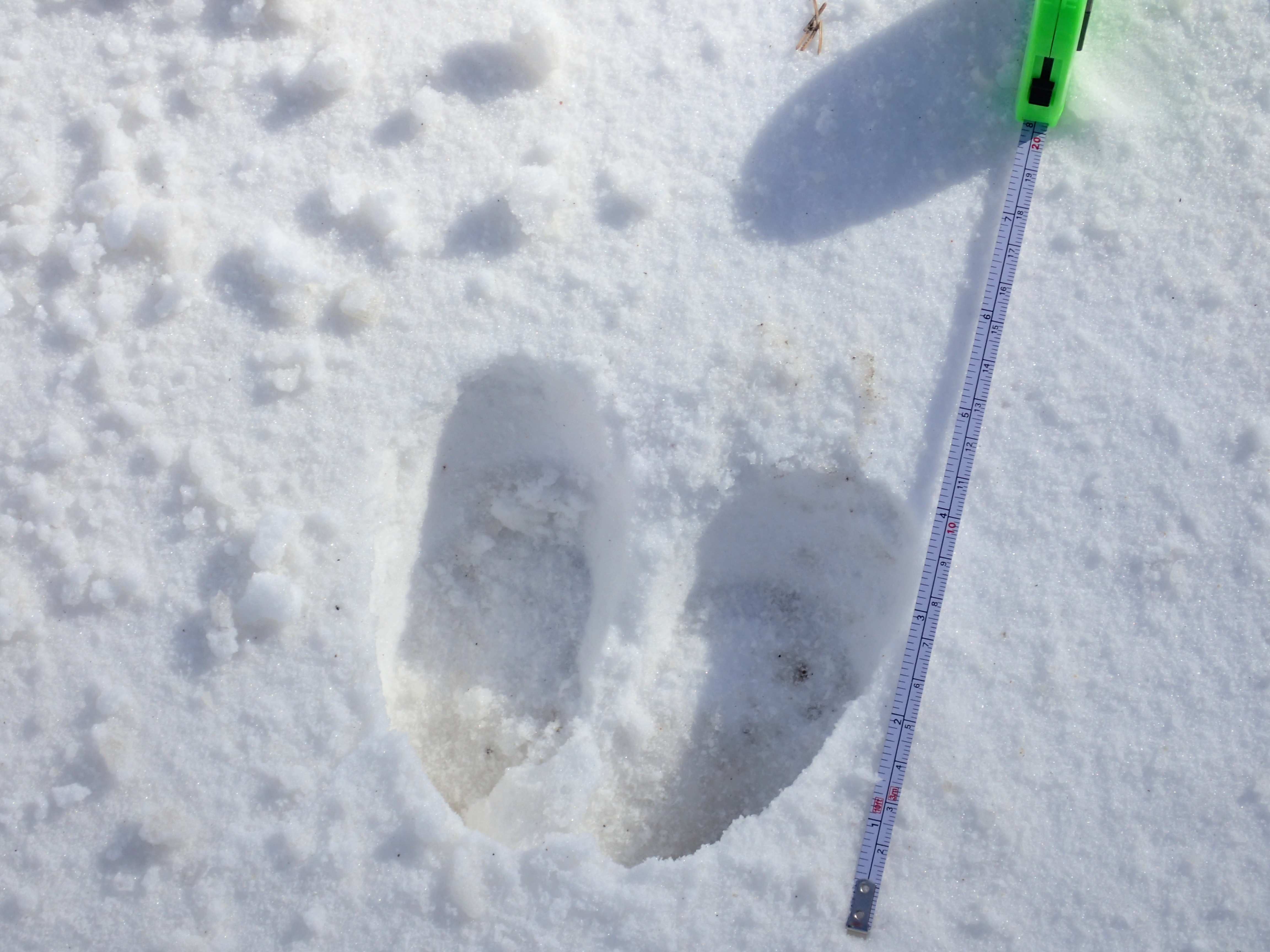 Moose track with scale