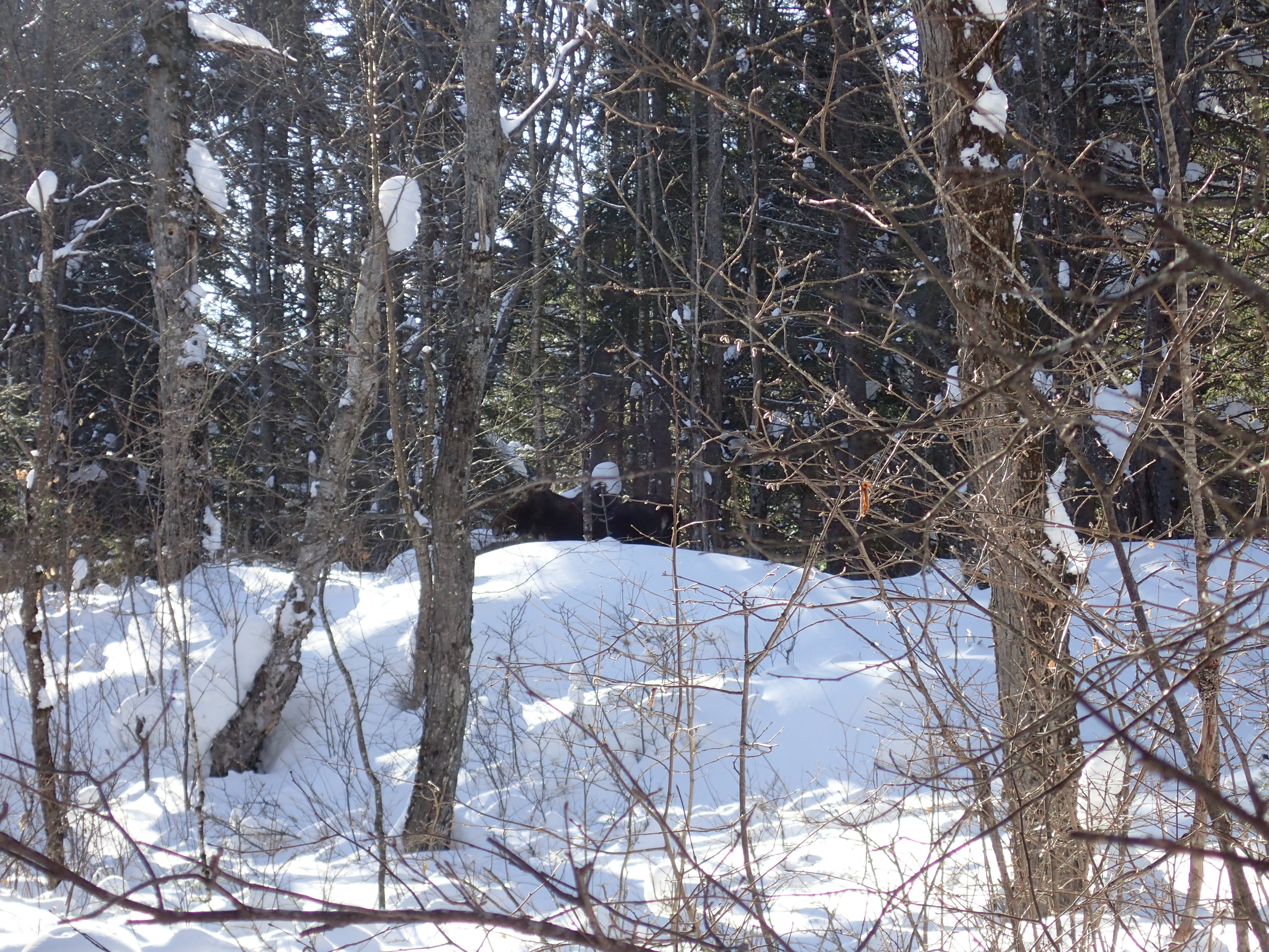 Moose spotted throught the trees