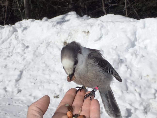 Grey Jay in my hand