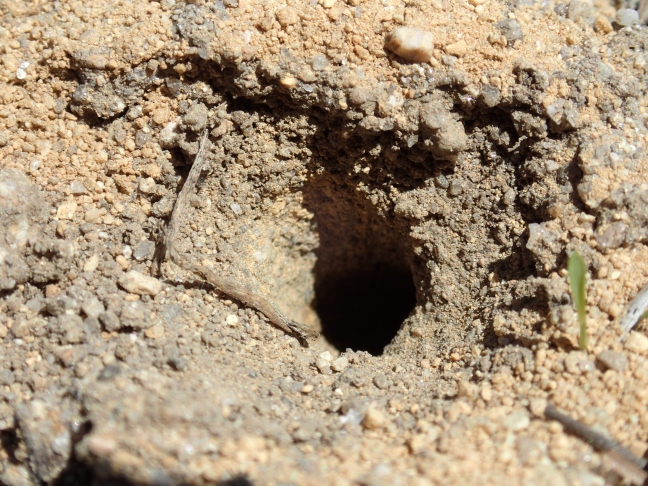 solitary bee or wasp burrow