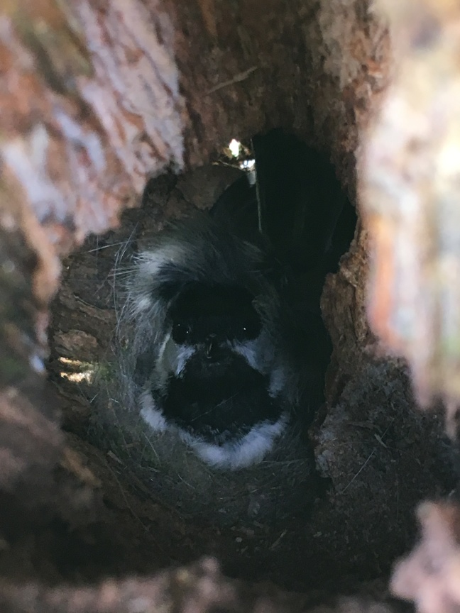 Chickadee in Nest